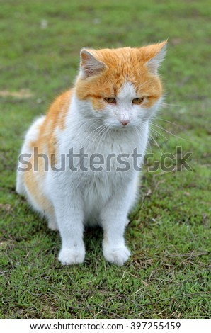 Photo of a beautiful ginger cat close-up.Red-haired cat with a white belly sitting on green grass.Portrait of red-haired stray cat.