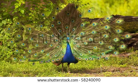 photo of a beautiful peacock