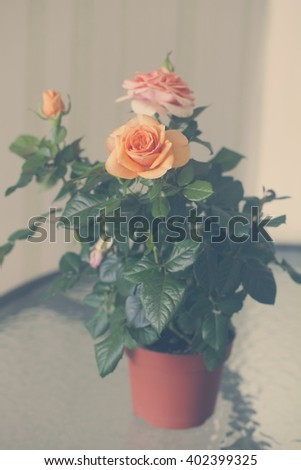 Photo of a beautiful rose bush in a pot in natural light