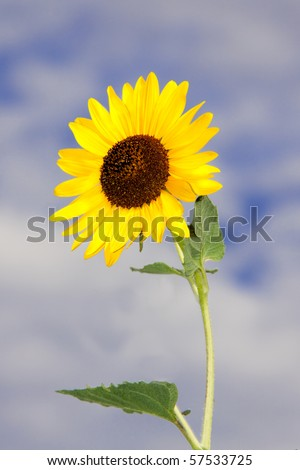 Photo of a beautiful yellow sunflower against a blue, cloud filled sky