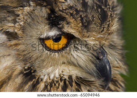 Photo of a Bengal Eagle owl (Bubo bengalensis) also known as a Rock Eagle Owl or Indian Eagle Owl, a large horned owl native to South Asia. - stock photo