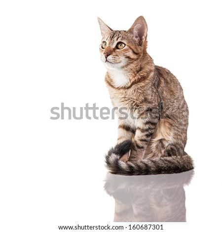 Photo of a brown striped kitten (4 months old) sitting down isolated on white background. Studio shot. - stock photo