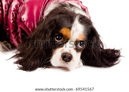 Photo of a cavalier king charles spaniel dog on white isolated background