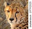 Photo of a Cheetah in Sabi Sands, South Africa - stock photo