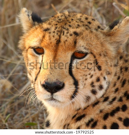 Photo of a Cheetah in Sabi Sands, South Africa