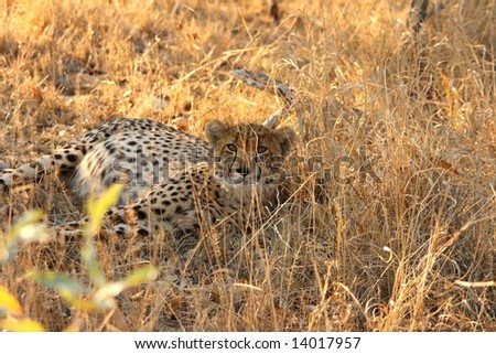 Photo of a Cheetah in the Sabi Sands Reserve