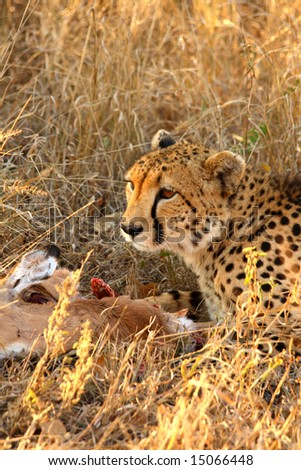 Photo of a Cheetah with a dead impala