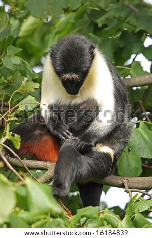 Photo of a chimpanzee (chimp) - stock photo