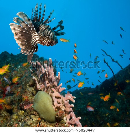 Photo of a coral colony, lionfish and small coral fishes - stock photo