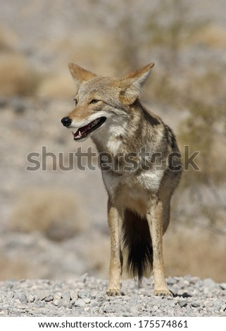 Photo of a coyote (Canis latrans). Location: Death Valley National Park, California, USA. - stock photo