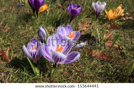 photo of a crocus meadow - stock photo