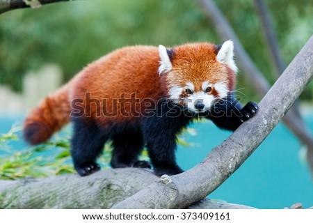 Photo of a cute red panda on the tree - stock photo