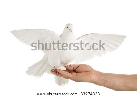 Photo of a dove on a hand, isolated on white - stock photo