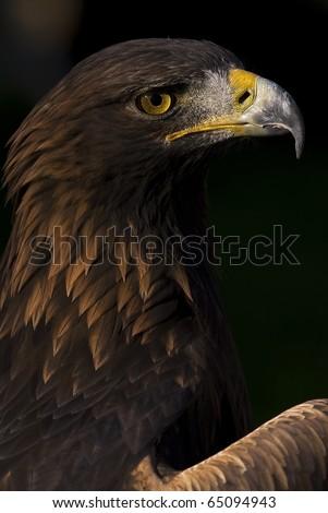 Photo of a European Golden Eagle (Aquila chrysaetos), a bird of prey. - stock photo