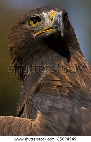 Photo of a European Golden Eagle (Aquila chrysaetos), a bird of prey. - stock photo