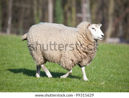 Photo of a female sheep in a pasture - stock photo