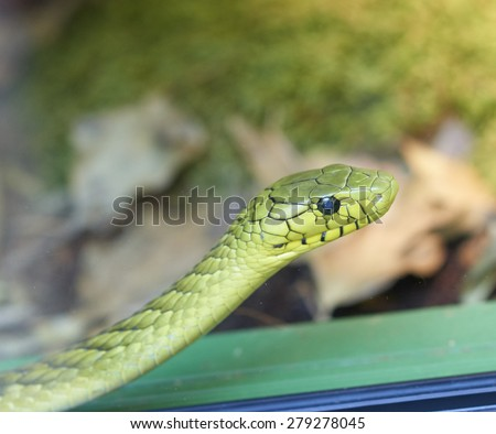 photo of a green mamba in a museum in genova - stock photo