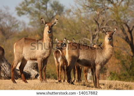 Photo of a herd of Female Waterbuck taken in Sabi Sands Reserve in South Africa