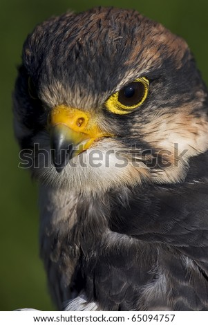 Photo of a Lanner Falcon (Falco biarmicus), a bird of prey native to Africa, southeast Europe and into Asia. - stock photo