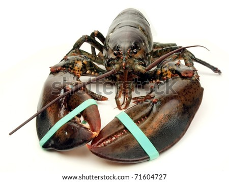 photo of a live Maine lobster viewed close up - stock photo