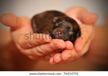 Photo of a newborn Pomeranian puppy in a woman's hands, focus on eyes - stock photo
