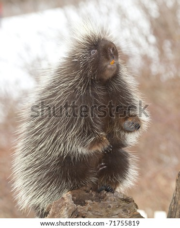 photo of a porcupine standing up - stock photo