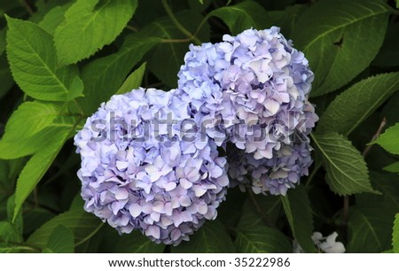 Photo of a purple hydrangea bush with large blooms - stock photo