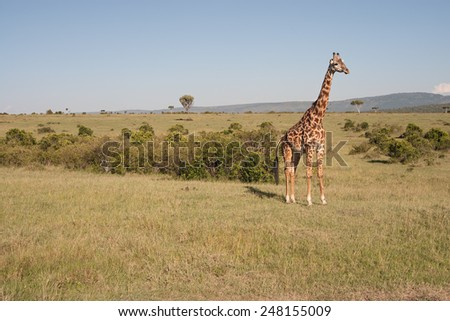 Photo of a reticulated giraffe in the wild, in Masai Mara National Park, Kenya. - stock photo