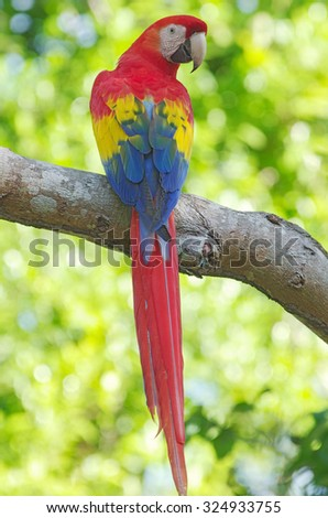 Photo of a scarlet macaw (Ara macao) taken in Chiriqui, Panama. Macaws are large, red, yellow and blue South American neotropical parrots. The Scarlet Macaw is the national bird of Honduras. - stock photo