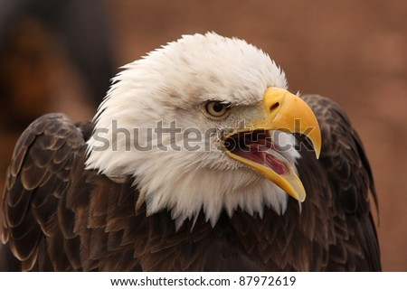 Photo of a screaming eagle taken at the World Bird Sanctuary in Missouri. - stock photo