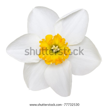 Photo of a short cup daffodil isolated on a white background - stock photo