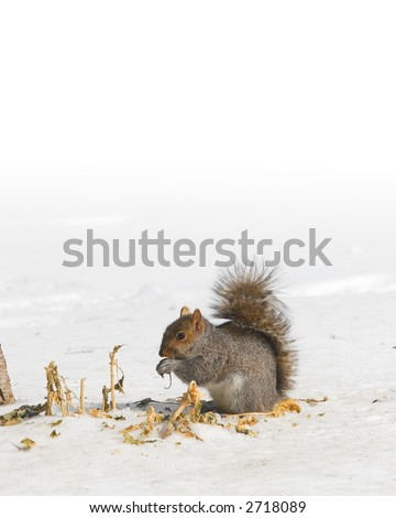 Photo of a squirrel in snow, fading into pure white copy space at the top -- York County, Pennsylvania.