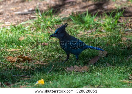 Photo of a Steller's Jay bird on the ground looking for food in Yosemite National Park California