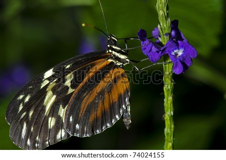 Photo of a Tiger Longwing Butterfly of the Nymphalidae family. Found through Mexico and the Peruvian Amazon. - stock photo