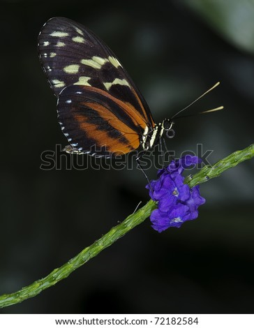 Photo of a Tiger Longwing Butterfly of the Nymphalidae family, native throughout Mexico to the Peruvian Amazon. - stock photo