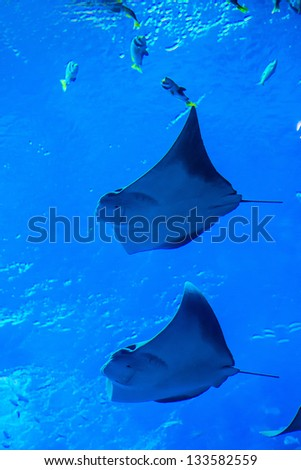 Photo of a tropical fish on a coral reef in aquarium. Stingray fish - stock photo