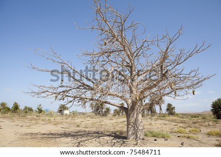 photo of a typical african Baobab tree background - stock photo