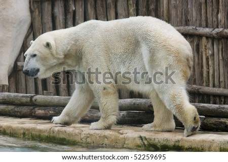 photo of a white polar zoo in the park - stock photo