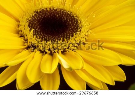 Photo of a yellow Gerbera Daisy - stock photo