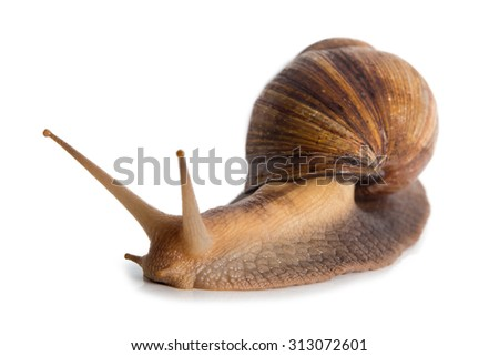 Photo of Achatina with cornicle up on white background - stock photo