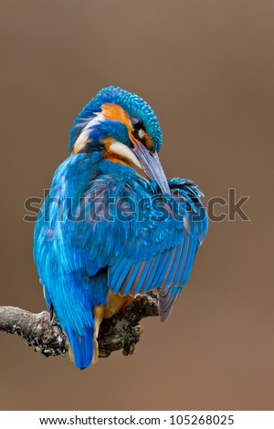 Photo of an adult Kingfisher (Alcedo atthis) male perched on a branch and preening in the early morning, England, UK - stock photo