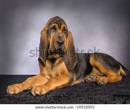 Photo of an American Bloodhound Puppy dog - stock photo
