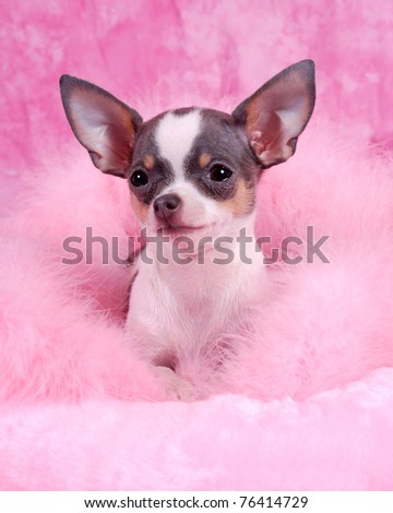 Photo of an Chihuahua breed dog - stock photo