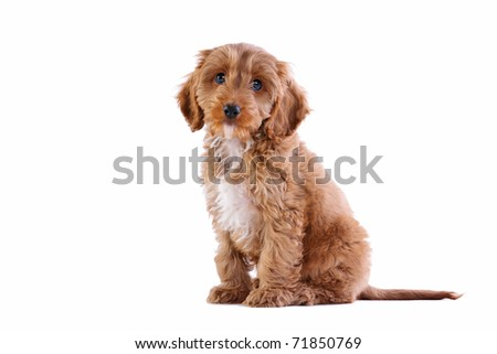Photo of an 11 week old male red and white Cockapoo puppy, who is a F1 cross breed between a cocker spaniel and a poodle,sitting looking towards camera and isolated on a white background.