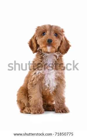 Photo of an 11 week old male red and white Cockapoo puppy, who is a F1 cross breed between a cocker spaniel and a poodle, sitting looking at camera and isolated on a white background. - stock photo