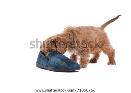 Photo of an 11 week old male red and white Cockapoo puppy, who is an F1 cross breed between a cocker spaniel and a poodle, playing with a slipper, isolated on a white background. - stock photo