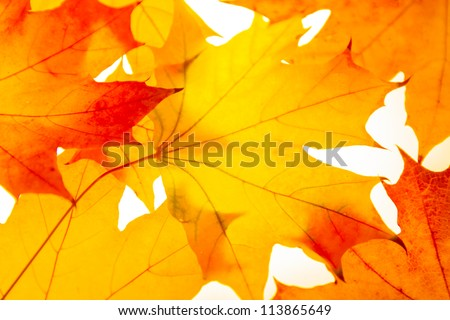 Photo of autumn leaves of the Canadian maple - stock photo