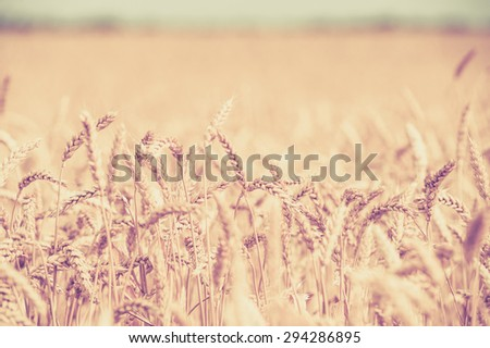 photo of background,, backdrop of  ears on the beautiful wheat field toned in retro vintage style - stock photo