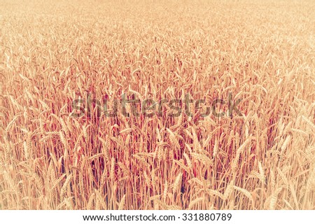 photo of background, backdrop of  ears on the beautiful wheat field toned in retro vintage style - stock photo