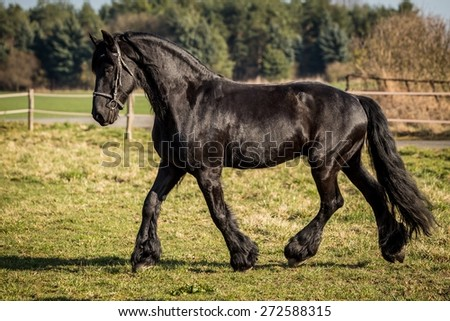 photo of beautiful black friesian horse outside with the sun-light and with black bridle